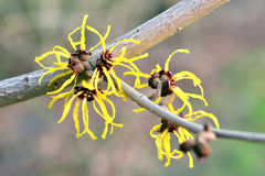 Witch-hazel in bloom Stock Images
