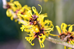 Witch-hazel in bloom Royalty Free Stock Image