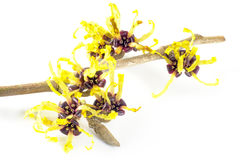 Witch hazel in bloom isolated on white background Stock Photo