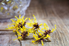 Witch hazel in bloom on old rustic wood Stock Photos