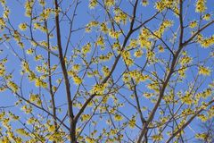 Witch Hazel blooming. Yellow flowers against a blue sky Stock Photo