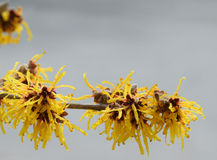 Witch Hazel, blooms of spring stock image