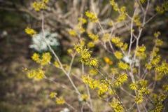 Witch hazel blossom stock photo