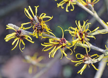 Witch Hazel Branch Stock Photos