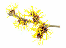 Witch Hazel Branch Royalty Free Stock Photography