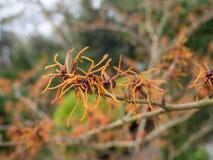 Witch hazel bright orange blooms. Hybrid witch hazel or hamamelis x intermedia bright orange flowers stock photo