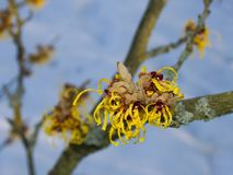 Witch-hazel  flowering in late winter 2. Yellow fluffy flowers of witch-hazel Hamamelis on the background of blue sky Royalty Free Stock Photography