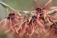 Witch hazel flowers. Branch of red witch hazel in flower in winter royalty free stock photo
