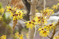 Witch hazel flowers Royalty Free Stock Photography