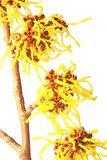 Witch hazel (Hamamelis). Blooming branch of witch hazel (Hamamelis) isolated in front of white background royalty free stock photo