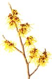 Witch hazel (Hamamelis) Stock Photography