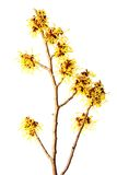 Witch hazel (Hamamelis). Blooming branch of witch hazel (Hamamelis) isolated in front of white background royalty free stock photos