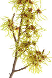 Witch hazel (Hamamelis) Royalty Free Stock Photography