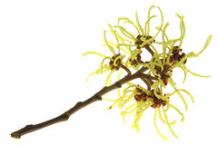 Witch hazel (Hamamelis) Royalty Free Stock Image