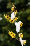 Witch Hazel, Hamamelis Royalty Free Stock Images
