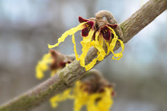 Witch hazel hamamelis mollis in bloom, yellow flowers of the m Stock Photos