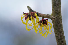 Witch hazel, hamamelis mollis, branch with yellow flowers, natur Stock Photo