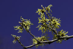 Witch hazel or Hamamelis x intermedia agains blue sky Royalty Free Stock Image