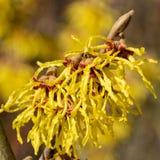 Witch Hazel Hybride, Hamamelis intermedia. Witch Hazel Hybride Hamamelis intermedia, colours of spring royalty free stock photos