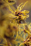 Witch Hazel Plant. Flowering american witch hazel - medicinal plant Hamamelis virginiana Lovely yellow blossom stock image