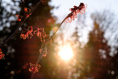 Witch hazel and sun flare Royalty Free Stock Images