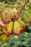Witch hazel. Tree showing autumn color in its leaves with its fruit stock images