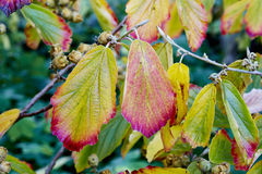 Witch hazel Stock Images