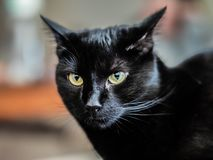 Slick black cat with big yellow eyes Stock Photography