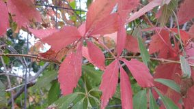 Witchs vine climbing red leaves Stock Photography