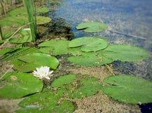 Wite blomma Fotografering för Bildbyråer