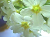 Wite blommor Royaltyfri Bild