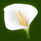 Wite calla flower Royalty Free Stock Photos