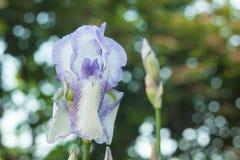 Wite d'IRIS dans le jardin Photographie stock libre de droits