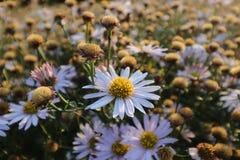 Wite krzaka żółty kwiat w ogrodowego whit tła chłodno kwiacie strzela out Fotografia Royalty Free