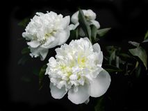 Wite peony. White peonies on the black background Stock Images