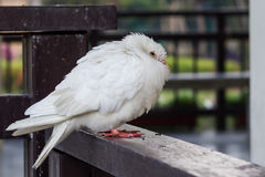Wite pigeon in morning of winter Stock Photos