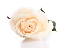 Wite rose Stock Photography