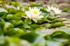 Wite water lilies growing Royalty Free Stock Photos