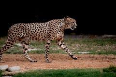 Withbackground гепарда идя стоковое изображение