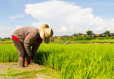 Withdrawal pulling rice seedlings Stock Image