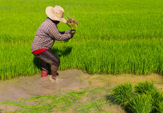 Withdrawal pulling rice seedlings Royalty Free Stock Photo