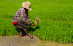 Withdrawal pulling rice seedlings Stock Photography