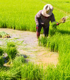 Withdrawal rice seedlings Royalty Free Stock Photography