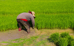 Withdrawal rice seedlings Stock Photography