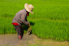 Withdrawal rice seedlings Stock Image