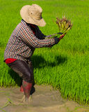 Withdrawal rice seedlings Royalty Free Stock Images