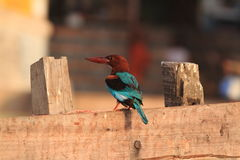 Withe Breasted Kingfisher Royalty Free Stock Images