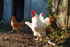 Withe and brown hens Royalty Free Stock Image