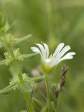 Withe chickweed flower Royalty Free Stock Photography