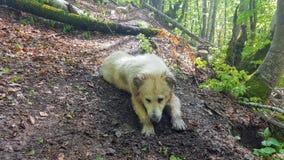 Dog. A withe dog full of mud Stock Image
